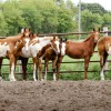 APHA Breeders' Trust: Changes in store for 2015