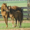 Permit To Carry: Breeding mares by utilizing embryo transfers