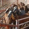 Recent developments in horse slaughter industry likely to bring about some changes