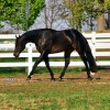 AQHA stallion Iron Age passes