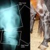 Arthritis common in Quarter Horses