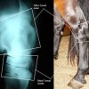 Arthritis common in Quarter Horses