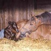 Impact on Neonatal Foals