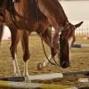The European Championship of American Quarter Horses