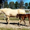 Surrogate dams come to the rescue of some worried foal owners