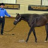 Orphan foal makes debut at NSBA World Show; Recap of competition